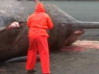Eksplozja żołądka wieloryba