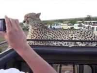 Bliskie spotkanie z gepardem