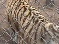 Groźny atak tygrysa