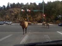 Tak przechodzi przez drogę stado jeleni