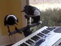 Kruki grać na fortepianie