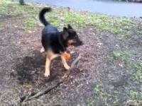 Pies stara się korzeń
