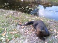 Oswojona wydra