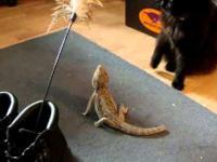 Kot troluje jaszczurkę