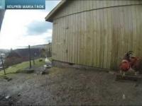 Kurczaki myślą że zaćmienie słońca to wcześniejsza noc