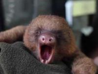 Słodziutki leniwiec