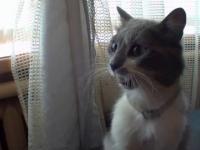 kot bojący się firanki