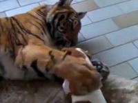 Zabawa teriera z tygrysem