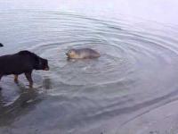 Pies z fajną foczką