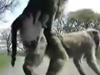 Małpki na samochodzie
