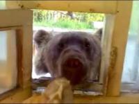Obiad z niedźwiedziem