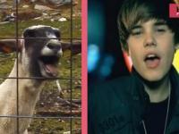 Justin Bieber - Baby Goat