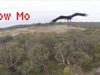 Orzeł atakuje drona