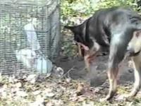 Pies ratuje wielkanocnego zajączka