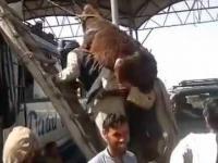 Arabowie pakują osiołka na autobus