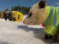 Opos snowboarder