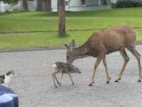 Sarna katuje psa, broniąc swoje młode