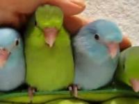 5 uroczy papugi-Fine tygodni