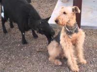 Zabawna koza liże psa
