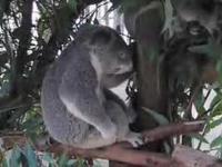 Koala rockman