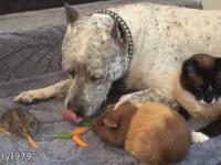 Idealna harmonia, czyli pies, kot, świnka morska i królik