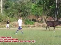 Stój! Krowy idą ! Niecodzienna sytuacja z Peru!