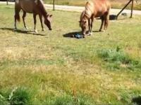 Zdalnie sterowany samochodzik vs konie