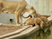 Lwica i lwiątka