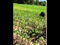 Rolnik ratuje niedźwiedzia