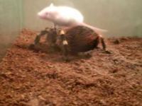 pająk i mysz