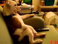 Pies Domowy