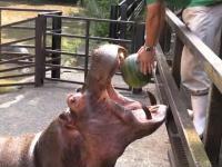 Karmienie hipopotamów arbuzem