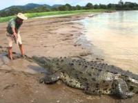 Mężczyzna karmiący dużego krokodyla słonowodnego