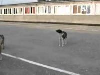 Rosyjskie psy śpiewają hymn