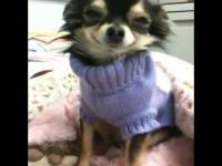 Piesek cieszący się z nowego swetra