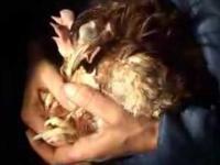 Skąd biorą się jajka (chów klatkowy)