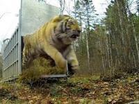 Zolushka, najszczęśliwsza tygrysica świata