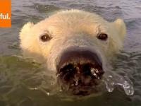Płynące, młode niedźwiedzie polarne filmowane z bliska