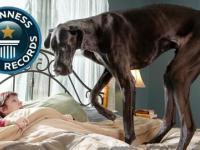 Zeus - Największy pies świata