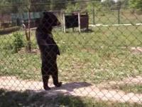 Niedźwiedź, który chodzi jak człowiek
