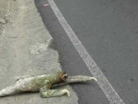 Leniwiec przechodzi przez ulicę