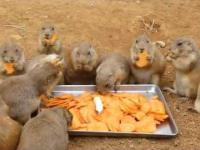 Urocze pieski preriowe wcinają marchewkę