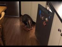 Borsuk kradnie w kuchni