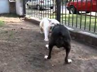 Pies Bull mają moc bum