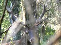 Spotkanie I stopnia z dorosłym jeleniem