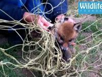 Ratowanie małego liska