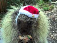 Rozgadany jeżozwierz w wersji świątecznej
