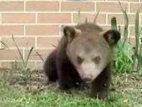Długie kichnięcie małego niedźwiadka.