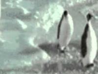 Cwany pingwin