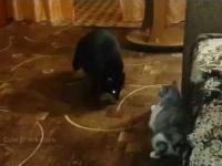 Szop kontra kot w morderczej walce z zaskakującym finałem